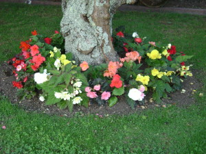 Tuberous begonias growing under a tree.