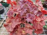 Begonia 'Adobe'