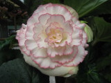 Begonia 'Nicol'