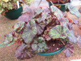 Begonia 'Norgrove Curl'