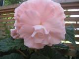 Begonia 'Persephone'