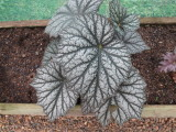 Begonia 'Silver Speckle'