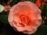 Begonia 'Venus'