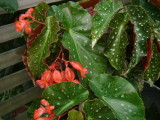 Begonia 'Angelica'