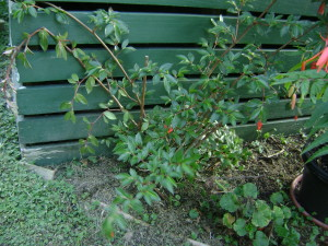 B fuchsioides outside; Auckland, NZ